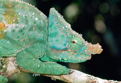 REP 03 MH0029 01 © Kimball Stock Close-Up Of Parson's Chameleon Male With Dew Drops Crawling Along Tree Branch Madagascar