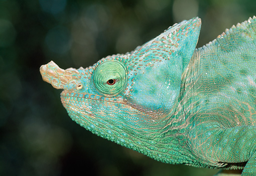 REP 03 MH0030 01 © Kimball Stock Close-Up Of Parson's Chameleon Male Madagascar