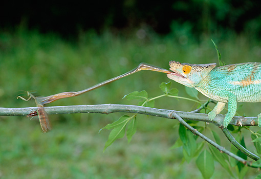 REP 03 MH0031 01 © Kimball Stock Close-Up Of Parson's Chameleon Male Catching Insect With Tongue Madagascar