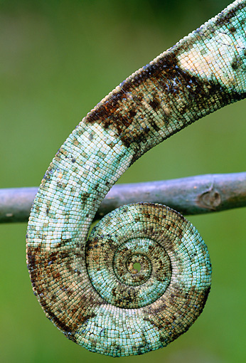 REP 03 MH0033 01 © Kimball Stock Close-Up Of Tail Of Parson's Chameleon Madagascar