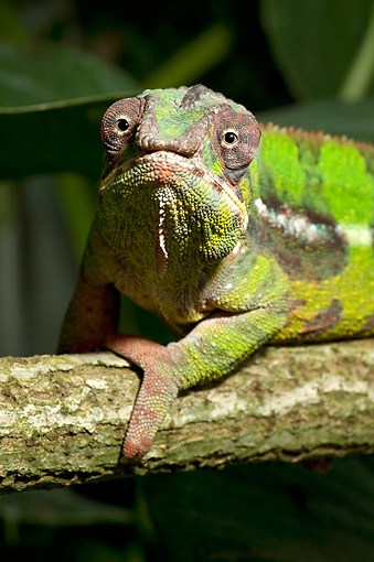 REP 03 WF0001 01 © Kimball Stock Portrait Of Panther Chameleon Sitting On Tree Branch