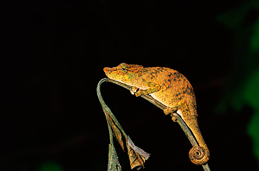 REP 03 WF0002 01 © Kimball Stock Long-Nosed Chameleon Climbing On Stem