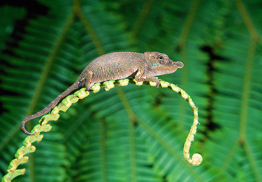 REP 03 WF0003 01 © Kimball Stock Big-Nosed Chameleon Climbing On Plant Madagascar