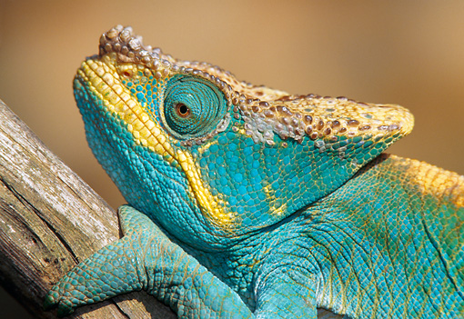 REP 03 NE0001 01 © Kimball Stock Parson's Chameleon Sitting On Branch Close Up