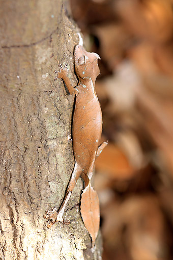 REP 04 AC0010 01 © Kimball Stock Baweng Satanic Leaf Gecko (Also Called Eyelash Leaf Gecko Or Fantastic Leaf Tailed Gecko) Crawling Up Tree In Madagascar