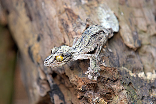 REP 04 AC0011 01 © Kimball Stock Mossy Leaf-Tailed Gecko Climbing On Bark In Madagascar