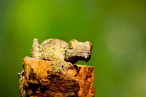 REP 04 JZ0001 01 © Kimball Stock Mossy Leaf-Tailed Gecko On Stump Madagascar