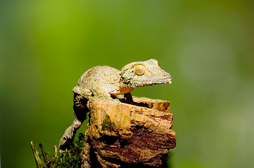REP 04 JZ0002 01 © Kimball Stock Mossy Leaf-Tailed Gecko On Stump Madagascar