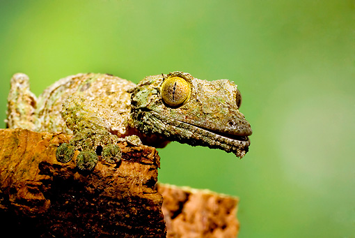 REP 04 JZ0003 01 © Kimball Stock Mossy Leaf-Tailed Gecko On Stump Madagascar