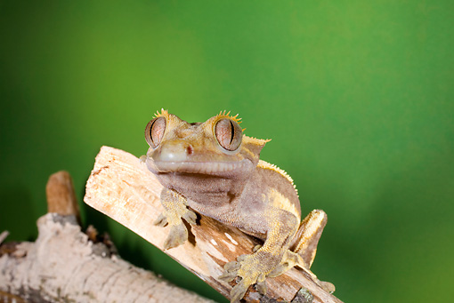 REP 04 JZ0004 01 © Kimball Stock Crested Gecko On Log New Caledonia