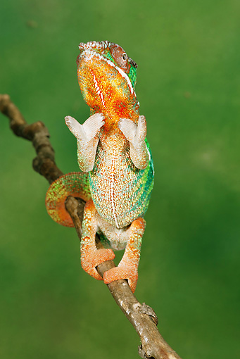 REP 04 MC0001 01 © Kimball Stock Panther Chameleon Sitting Upright On Twig Madagascar