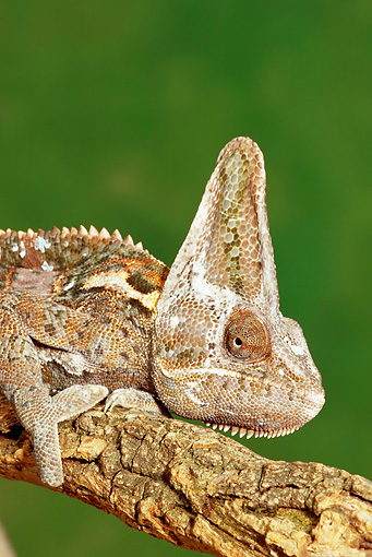 REP 04 MC0002 01 © Kimball Stock Close-Up Of Veiled Chameleon Resting On Tree Branch