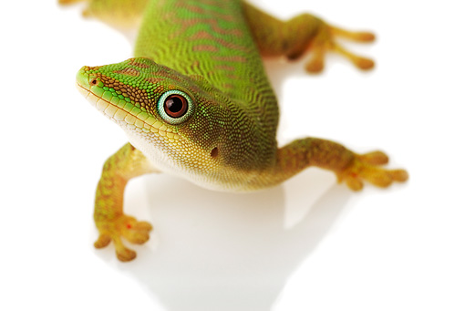 REP 04 MH0001 01 © Kimball Stock Close Up of Day Gecko Standing In Studio