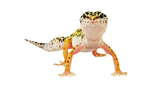 REP 04 MH0002 01 © Kimball Stock Close Up Of Leopard Gecko Standing In Studio