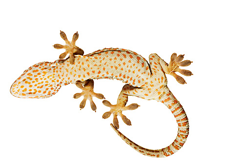 REP 04 MH0003 01 © Kimball Stock Underneath View Of Tokay Gecko In Studio