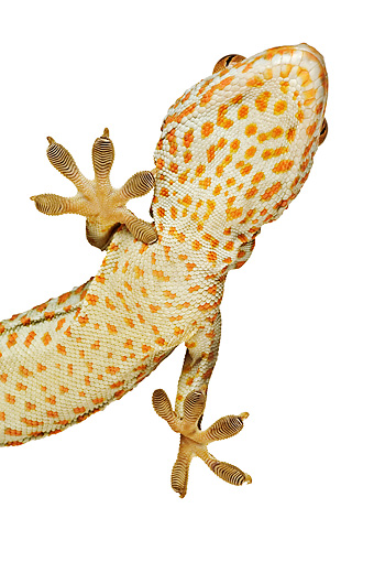REP 04 MH0004 01 © Kimball Stock Underneath View Of Tokay Gecko In Studio