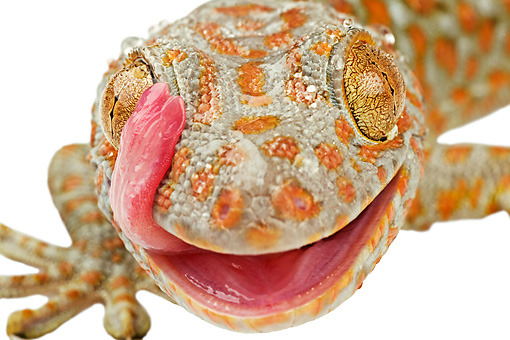 REP 04 MH0005 01 © Kimball Stock Close Up View Of Tokay Gecko Standing In Studio