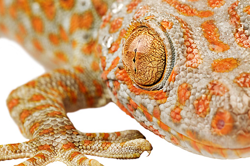 REP 04 MH0006 01 © Kimball Stock Close Up View Of Tokay Gecko Arm and Eye In Studio