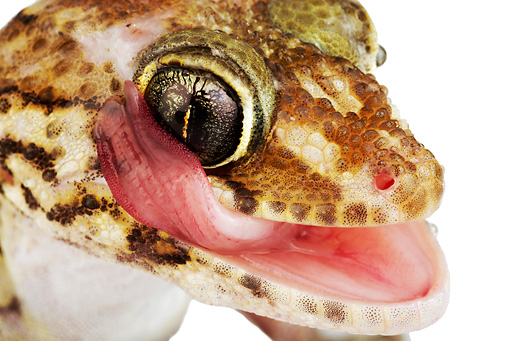 REP 04 MH0007 01 © Kimball Stock Close Up Of Madagascar Ground Gecko Licking Face In Studio