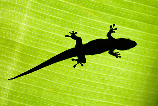 REP 04 MH0008 01 © Kimball Stock Underneath View Of Silhouette From Giant Madagascar Day Gecko