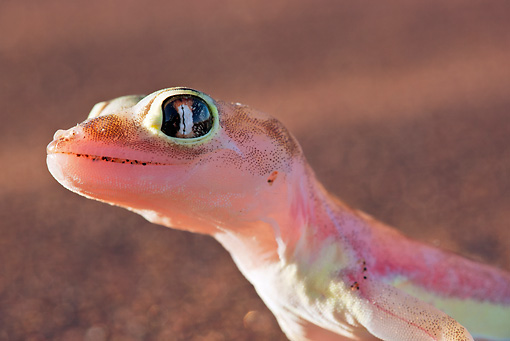 REP 04 MH0016 01 © Kimball Stock Head Shot Of Web-Footed Gecko Namib Desert