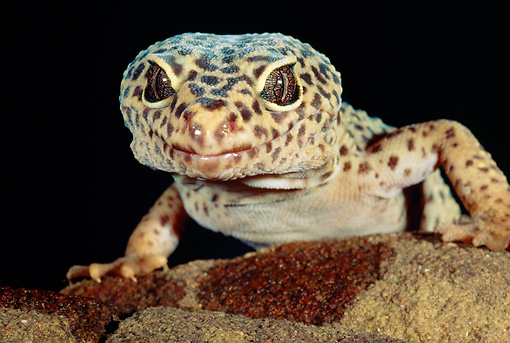 REP 04 MH0017 01 © Kimball Stock Close-Up Of Leopard Gecko Crawling On Rock
