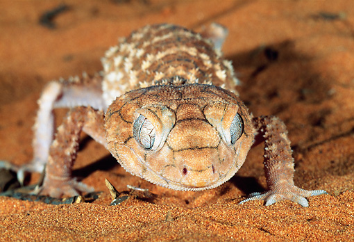 REP 04 MH0018 01 © Kimball Stock Close-Up Of Rough Knob-Tailed Gecko Crawling On Sand