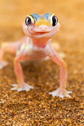 REP 04 MH0020 01 © Kimball Stock Portrait Of Web-Footed Gecko Standing On Sand Namib Desert