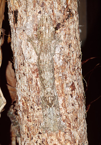 REP 04 MH0026 01 © Kimball Stock Henkel's Leaf-Tailed Gecko Camouflaged In Tree Bark Madagascar