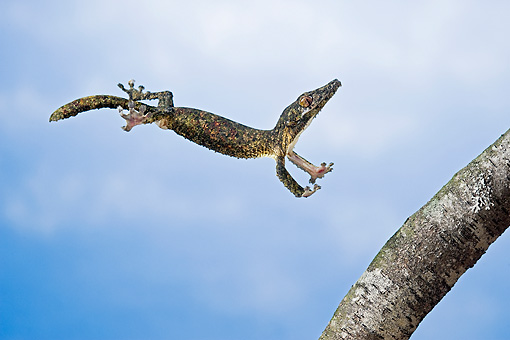 REP 04 TK0030 01 © Kimball Stock Leaf-Tailed Gecko In Flight To Branch