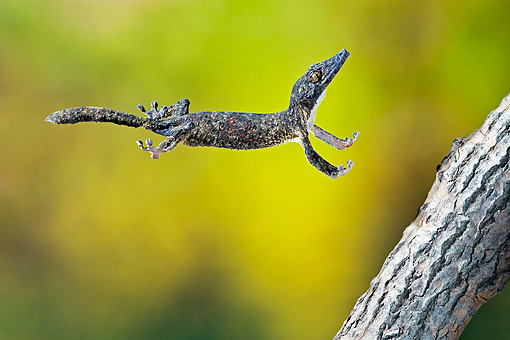 REP 04 TK0031 01 © Kimball Stock Leaf-Tailed Gecko In Flight To Branch