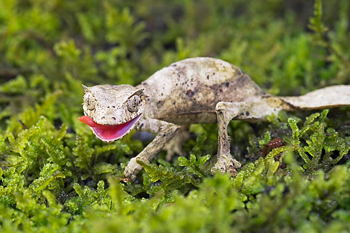 REP 04 TK0032 01 © Kimball Stock Satanic Leaf-Tailed Gecko Standing On Branch