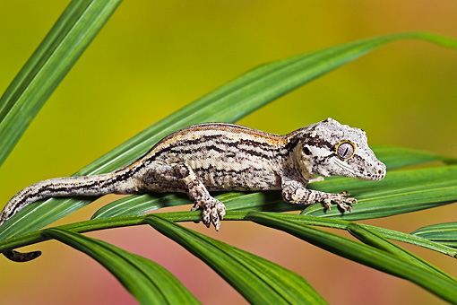 REP 04 TK0033 01 © Kimball Stock Gargoyle Gecko Sitting On Branch Profile