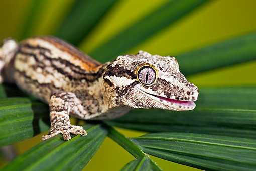 REP 04 TK0035 01 © Kimball Stock Close-Up Of Gargoyle Gecko Sitting On Branch
