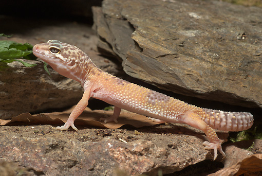 REP 04 WF0001 01 © Kimball Stock Leopard Gecko Standing On Rock