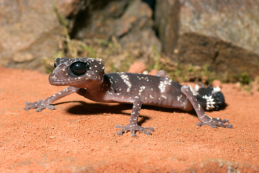 REP 04 WF0002 01 © Kimball Stock Madagascar Big-Eyed Gecko Sitting On Sand