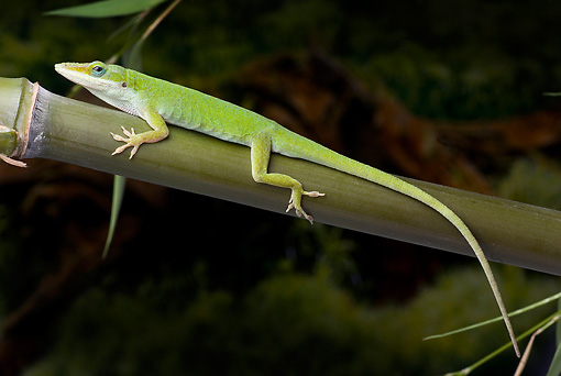 REP 04 WF0003 01 © Kimball Stock Carolina Anole Resting On Bamboo Stalk