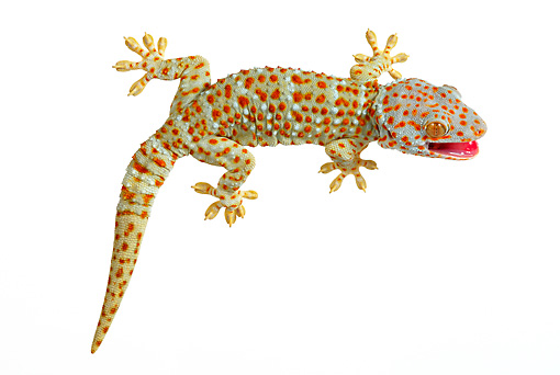REP 04 KH0001 01 © Kimball Stock Tokay Gecko Sitting On White Seamless
