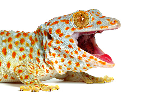 REP 04 KH0002 01 © Kimball Stock Head Shot Of Tokay Gecko Sitting On White Seamless