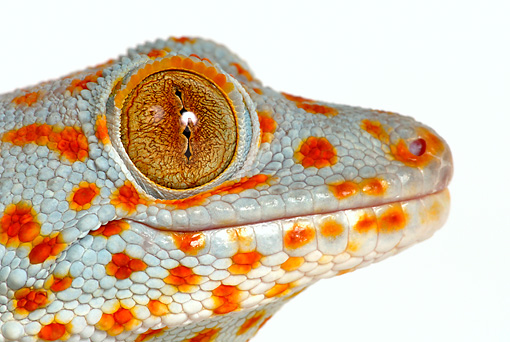 REP 04 KH0003 01 © Kimball Stock Head Shot Of Tokay Gecko On White Seamless