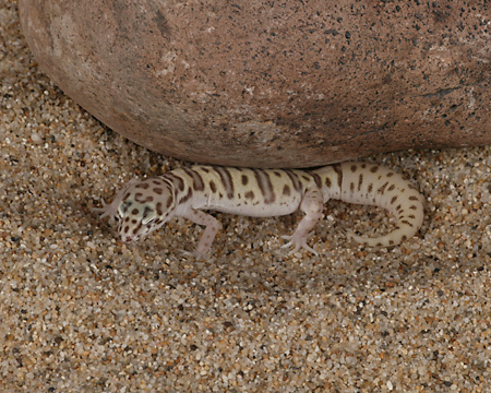 REP 04 RK0003 01 © Kimball Stock Western Banded Gecko On Sand By Rock