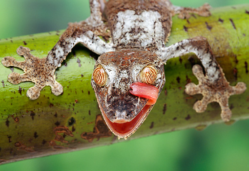REP 04 TK0001 01 © Kimball Stock Close-Up Of Frilled Leaf-Tailed Gecko Licking Face