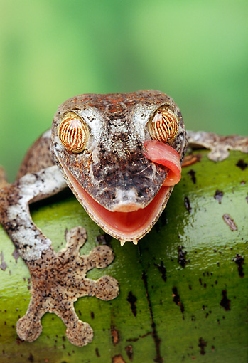 REP 04 TK0002 01 © Kimball Stock Close-Up Of Frilled Leaf-Tailed Gecko Licking Face