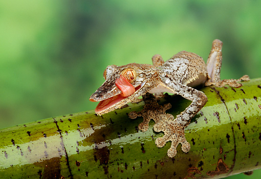 REP 04 TK0003 01 © Kimball Stock Frilled Leaf-Tailed Gecko Licking Face Sitting On Branch