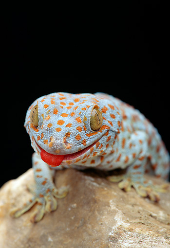 REP 04 TK0004 01 © Kimball Stock Head Shot Of Tokay Gecko Climbing On Rock