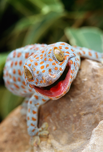 REP 04 TK0005 01 © Kimball Stock Head Shot Of Tokay Gecko Climbing On Rock