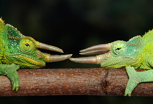 REP 04 TK0006 01 © Kimball Stock Close Up Of Two Jackson's Chameleons Sparring On Branch