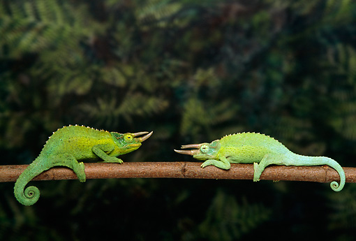 REP 04 TK0007 01 © Kimball Stock Two Jackson's Chameleons Sparring On Branch