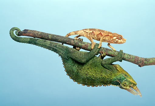 REP 04 TK0012 01 © Kimball Stock Young And Adult Jackson's Chameleons Climbing On Branch