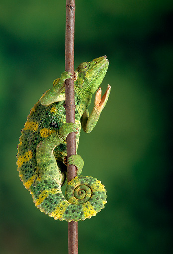 REP 04 TK0015 01 © Kimball Stock Meller's Chameleon Climbing On Branch